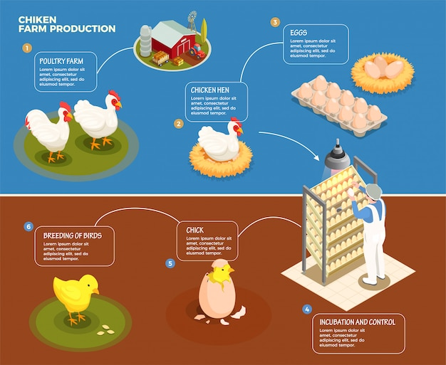 Chicken production step by step scheme from poultry farm to incubation control and breeding of chick isometric illustration
