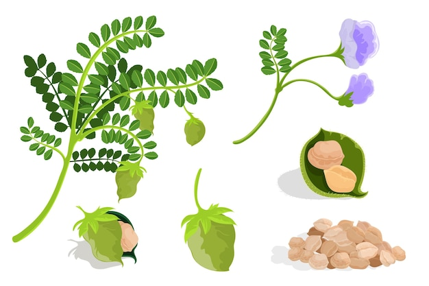 Chickpea beans and plant illustrated