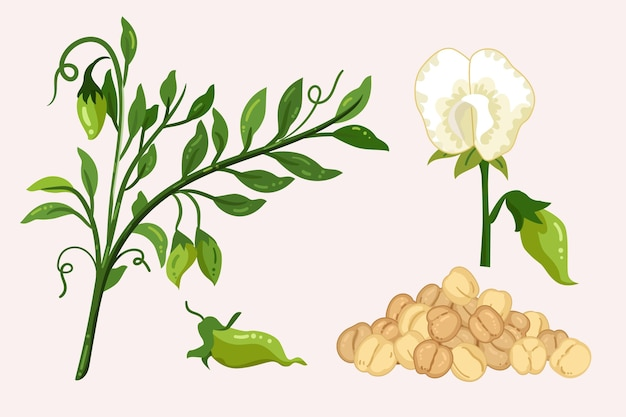 Chickpea beans and plant illustration