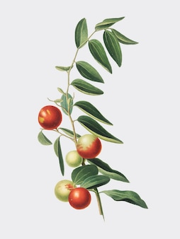 Chinese jujube from pomona italiana illustration