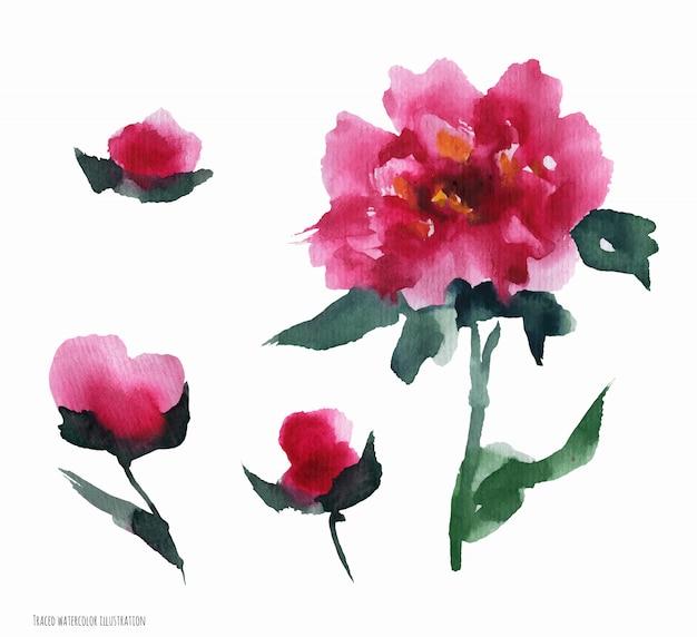 Китайский пион розовые цветы, набор акварели