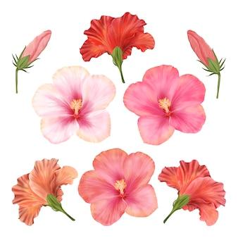 중국 장미. 히 비 스커 스 꽃 꽃 세트