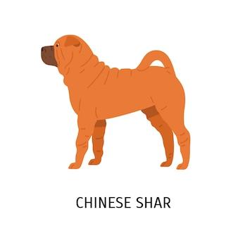 中国のシャーペイ。白で隔離の戦いの品種のかわいい面白い犬
