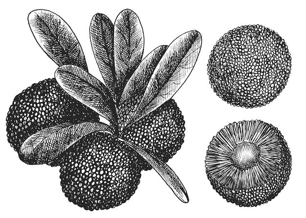 중국 딸기, voskovnik 세트. 손 그리기, 스케치