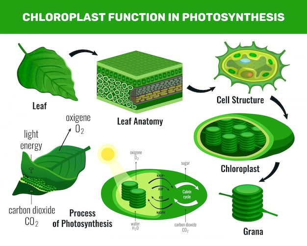 Chloroplast converting light energy into sugar for green plant cells food photosynthesis infographic elements schema