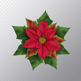 Christmas star flower isolated on a transparent background. top view red and green photorealistic poinsettia for winter design. flat lay, top view, square.vector illustration