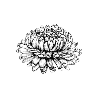 Chrysanthemum flower with leaves. vintage vector hatching black illustration.