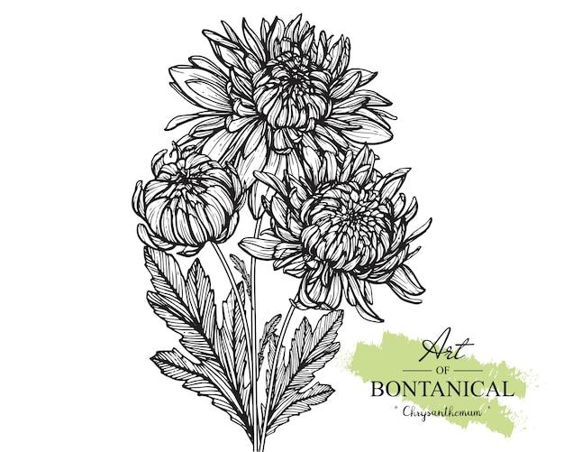Chrysanthemum leaf and flower drawings. vintage hand drawn botanical illustrations. vector