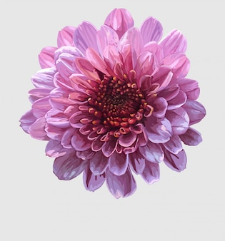 Chrysanthemum realistic vector