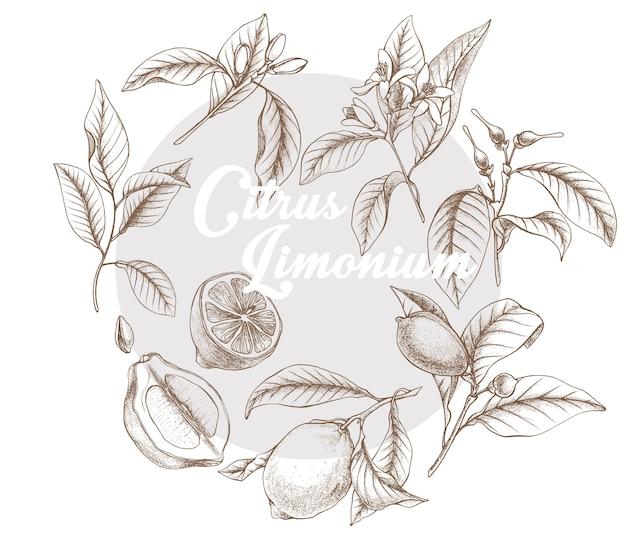 Рисованной контур векторной ботанической иллюстрации жизненного цикла лимона. эскиз ботанический ci