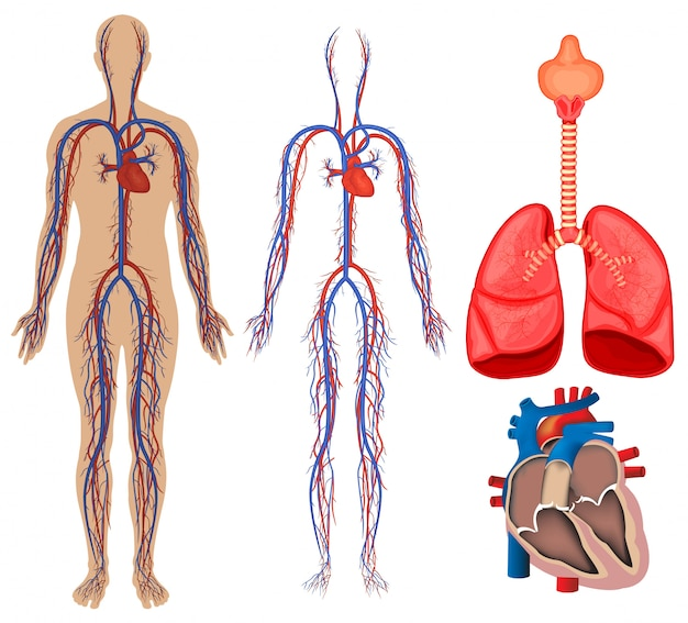 Circulatory system in human body