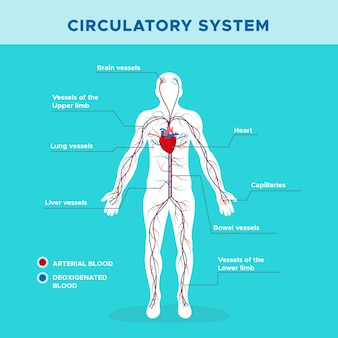 Infografica del sistema circolatorio in design piatto