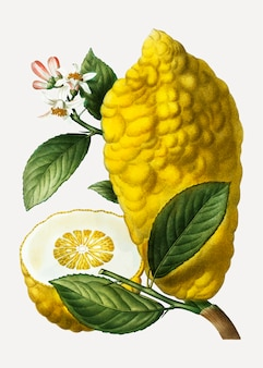 Citron lemon fruit