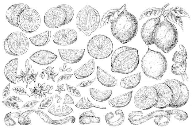 Citrus fruit lemon hand drawn food.