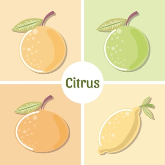 Citrus fruits fresh orange lemon lime mandarine set  illustration