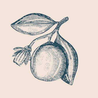 ブランチスケッチの花と柑橘類白い背景で隔離。手描きの刻まれたイラスト。レトロなスタイル。
