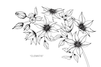 Clematis flower drawing illustration