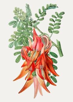 Clianthus branch