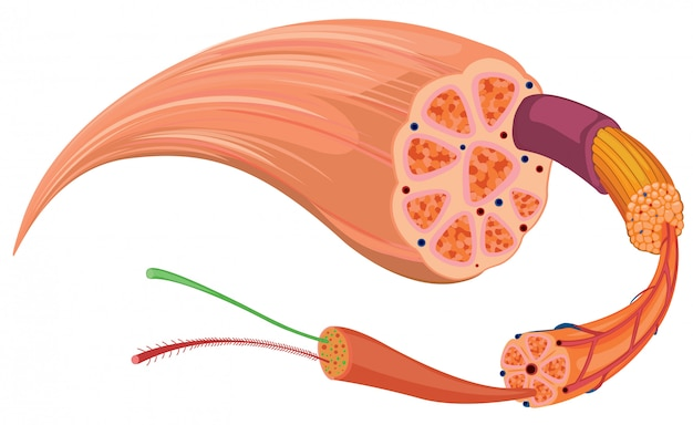 Close up diagram of tissue
