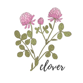Clover flower on a white background pink with green leaves