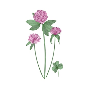 Clover or trefoil flowers and leaves on white.