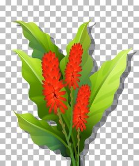 透明な背景にコックの花