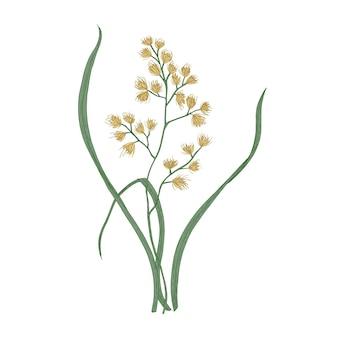 수탉의 발 또는 고양이 잔디 흰색 배경에 고립. 초원이나 초원에서 자라는 야생 다년생 꽃 식물의 식물 그림. 골동품 스타일의 손으로 그린 현실적인 벡터 일러스트 레이 션.