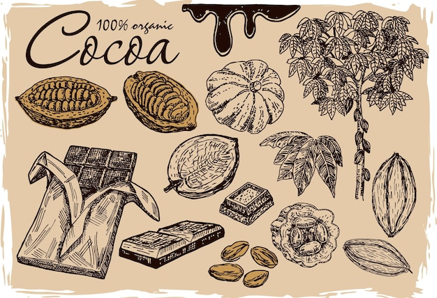 Cocoa beans cocoa leaves cocoa branch with fruits of cocoa chocolate organic healthy food sketch
