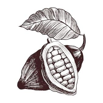 코코아 콩. 빈티지 스타일 조각의 그림입니다. 손으로 그린 초콜릿 카카오 콩