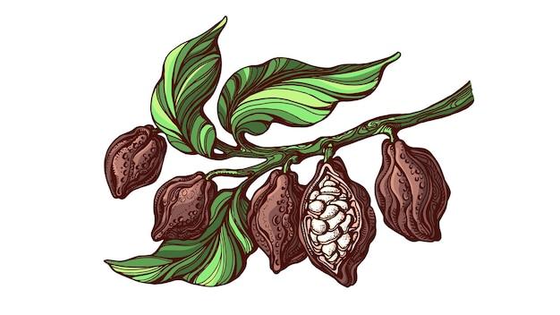 Ветка какао. тропические фрукты, фасоль. нарисованная рукой иллюстрация краски