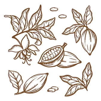 Cocoa branches sketch. fruit seeds leaves branches of theobroma tree. brown monochrome design in vintage style. hand drawn clip art   illustration set