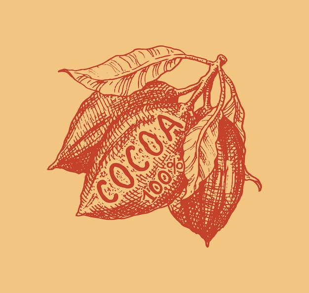 Cocoa fruit. beans or grains. vintage badge or logo for t-shirts, typography, shop or signboards. hand drawn engraved sketch.