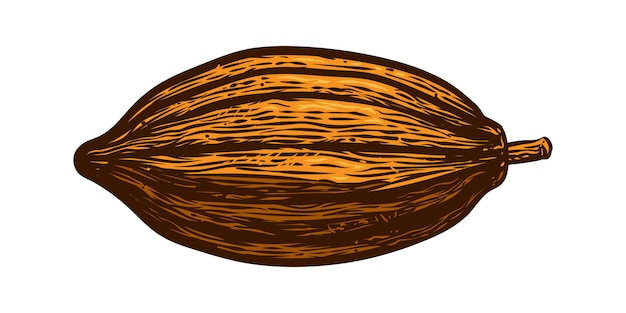 Cocoa fruit vector engraving illustration