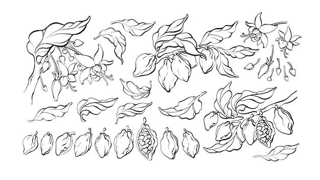 Набор какао. графические элементы природы изолировать. ботаническое рисованное дерево, фасоль, фрукты, листья