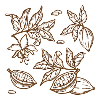 Cocoa tree branches. fruit seeds and leaves of theobroma tree. brown monochrome design in vintage style. hand drawn clip art   illustration set