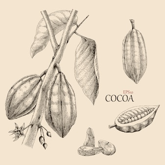 Cocoa tree hand drawing engraving style