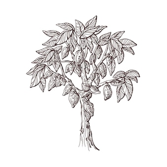 Cocoa tree with fruit seed planted hand drawn sketch organic chocolate