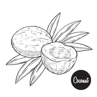 코코넛 과일 스케치 또는 손으로 그리는 벡터
