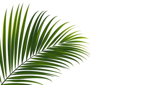 Кокосовые листья на белом фоне с обтравочным контуром для вектора элемента дизайна тропических листьев