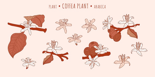 Coffea arabica plant. coffee fruits and flowers on a branches