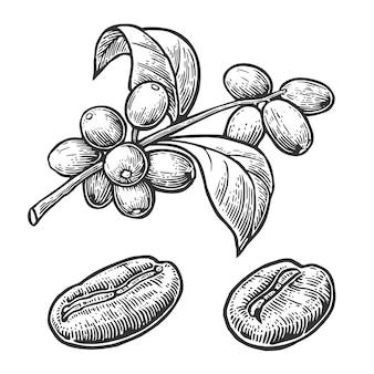 Кофе в зернах, ветвь с листьев и ягод, гравировка иллюстрации
