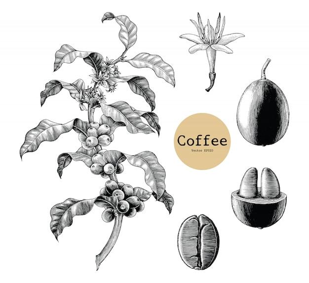 커피 지점, 커피 꽃, 커피 콩 손 빈티지 흰색 배경에 고립 된 그리기