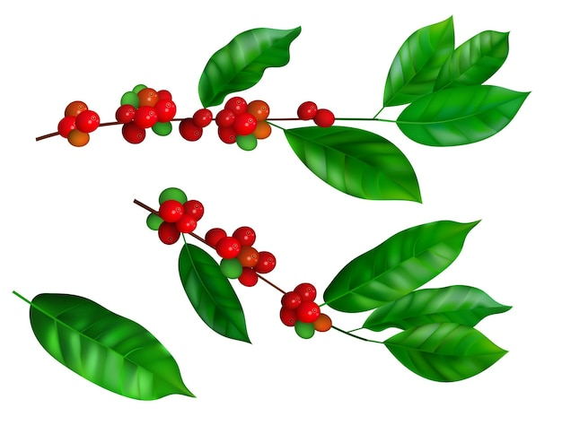 콩과 잎이 있는 커피 가지