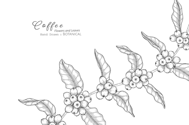 라인 아트로 커피 꽃과 잎 손으로 그린 식물 삽화.