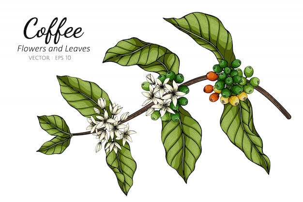 Coffee flower and leaf drawing illustration with line art on whites.