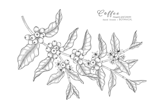 Coffee flower and leaf hand drawn botanical illustration with line art.