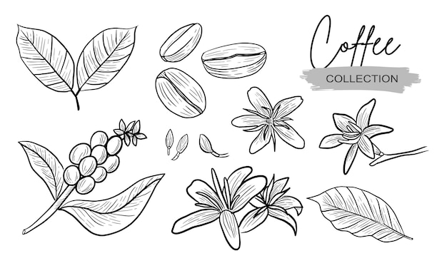 Coffee plant and flower drawing collection realistic