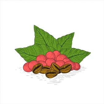 Кофейные растения, листья, фрукты и бобы, рисованной старинные иллюстрации.