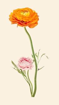 Collage ranuncolo vintage fiore arancione illustrazione vettoriale, disegnato a mano artwork