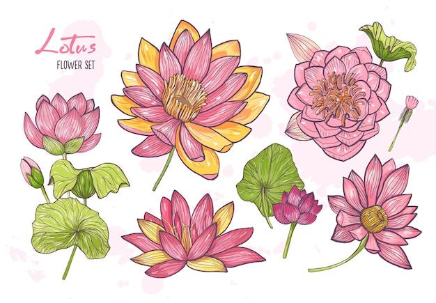 Collection of beautiful detailed botanical drawings of blooming lotus.